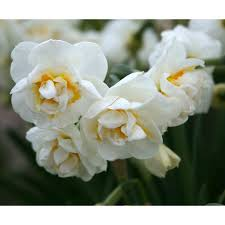 shop bridal crown daffodil narcissus bulbs at lowes