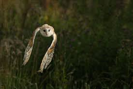 Photographs Of Barn Owls Watch The Secret To Why Barn Owls Dont Lose Their Hearing 162 Best Owls Images On Pinterest Barn And Children Stock Photos Images Alamy Owl 10 Fascating Facts About Species List Az 210 Birds Drawing Photographs Of Cave By Tyler Yupangco 312 Beautiful Birds