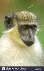 Monkey Monkeys Primate Primates Mammal Mammals Animal Animals Africa African West Tropics Tropical