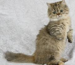 munchkins cats 10 photos of munchkin cats that will melt your petcha