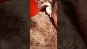 How Remove Wax From Carpet by Candle Wax Removal From Carpets Using A Hair Dryer Youtube