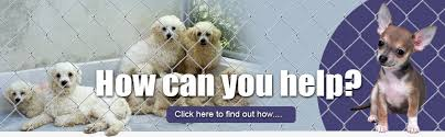 Small Non Shedding Dogs For Adoption bichon and little rescue home