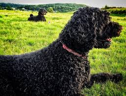 Dogs That Dont Shed Hair Ireland by Hypoallergenic Dogs And Coping With Dog Allergies