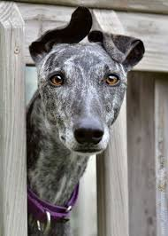 Do Italian Greyhounds Shed A Lot by Greyhounds What Beautiful Faces Dogs Greyhounds Eardos
