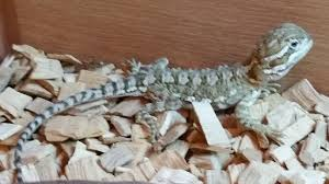 Bearded Dragon Shedding Nostrils by Reptiles Angell Pets U2013 The Friendliest Pet Shop In Gloucester