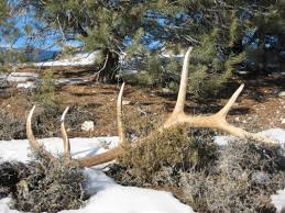 Shed Hunting Utah 2014 by Nevada Wildlife Officials To Mull Regulating Antler Collecting
