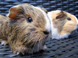 Can Guinea Pigs Eat Pumpkin Seeds by All Things Guinea Pig Top Tips For Cavy Care