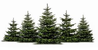 Nordmann Fir Christmas Trees Wholesale by Christmas Trees In Southern California Gardening Limited