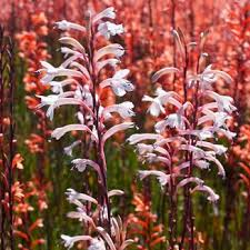 watsonia bulbs in south africa value forest