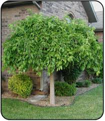 Weeping Mulberry Morus Alba Chaparral