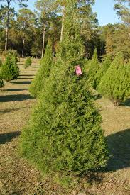 Christmas Tree Has Aphids by In Search Of The Perfect Christmas Tree Jacksonville News