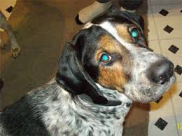 Do Bluetick Coonhounds Shed by Bluetick Coonhound Puppies Breeders Coonhounds