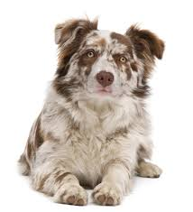 Do Blue Heeler Border Collies Shed everything you need to know about border collie colors and markings