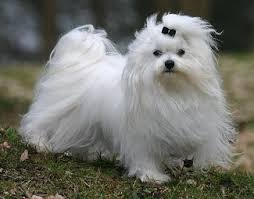 Dog Breeds That Dont Shed List by Dog Breeds That Don U0027t Shed Choose Your Preferred Breed Pets World
