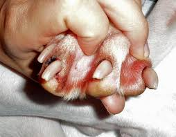 dog nail bed infection 3 dog beds gallery images and wallpapers