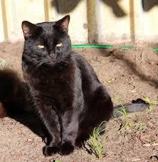 bombay cats bombay cats breed information omlet