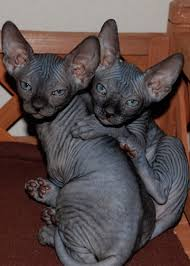 how much does a sphynx cost hairless cat price sphynx price