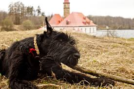 Do Giant Schnauzers Shed by Giant Schnauzer Information Dog Breeds At Dogthelove