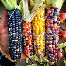 Glass Gem Corn (50 Seeds) – PowerGrow Systems & Utah Hydroponics Prettiest Popcorn I Ever Did Grow The Unfettered Fox Glass Gem Corn Littlegirlstory Glass Gem Corn The Cover Of Our Whole Seed Catalog Carls Flint Is An Unbelievably Stunning Bred By Part Hdenosaunee The Iroquois Confederacy Tuscarora White Oliveloaf Design Afbeeldingsresultaat Voor Peru Brazil Colored Pinterest 9 Best Sweetcorn Images On Color 2 Cob And Maze Story Behind Business Insider 1293 Indian Fruit Pink Popcorn