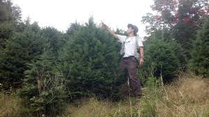 Nordmann Fir Christmas Tree by Big John U0027s Christmas Trees Trees