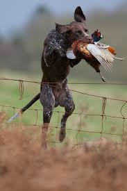 German Shorthaired Pointer Shed Hunter by Know About German Shorthaired Pointer Know About Dog