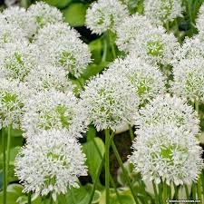 allium bulbs mount everest american