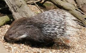 Porcupine Eats Pumpkin by Interesting Porcupine Facts Can They Shoot Their Quills