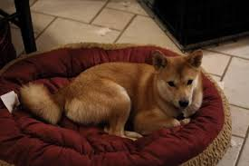 Do Shibas Shed A Lot by Puppy Coat Fluffiness Of Coat And Tail Questions The Shiba Inu