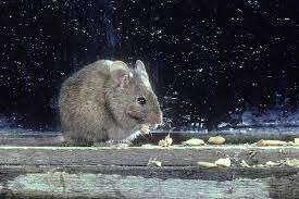 7 Signs That You Still Have Mice Or Rats In Your Home Mice How To Identity And Get Rid Of In The Garden Home Rats Guaranteed 4 Easy Steps Youtube Does Peppermint Oil Repel Yes Best 25 Getting Rid Rats Ideas On Pinterest 8 Questions Answers About Deer Hantavirus Mouse Control To Of In The Keep Away From Bird Feeders Walls 2 Quick Ways That Work Get Rid Of Rats Using This 3 Home Methods Naturally Dangers Rat Poison Dr Axe Out Your Without Killing Them