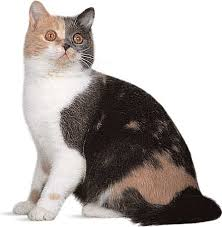 haired cat longhair breed of cat britannica