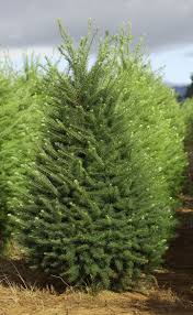 Popular Christmas Tree Species by Types Of Christmas Trees Christmas Tree Types Different Types