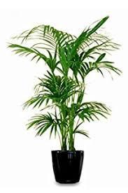 kentia palme howea forsteriana wunderschöne zimmerpflanze