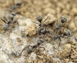 Home Reme s for Getting Rid of Ants with Natural Repellent