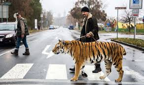 cat on is that a tiger crossing animal trainer takes his big cat on a