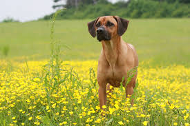 Dog Breeds That Dont Shed Uk by 30 Best Large Dog Breeds Top Big Dogs List And Pictures