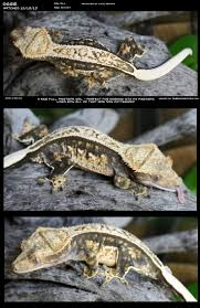 Extreme Halloween Crested Gecko by 75 Best Crested Gecko Images On Pinterest Crested Gecko Geckos