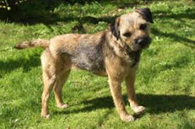 southern border terrier club