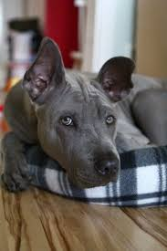 Guard Dogs That Dont Shed by 823 Best Dog Breeds Images On Pinterest Animals German