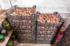 kartoffeln richtig lagern aufbewahren plantura