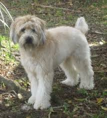 Do Wheaten Terrier Puppies Shed by Soft Coated Wheaten Terrier Dog Breed Information And Pictures