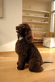 irish water spaniel dog breed information pictures