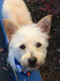 Wirehaired Pointing Griffon Non Shedding by Los Angeles Ca Westie West Highland White Terrier Meet