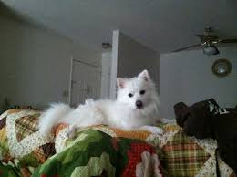 100 best miniature american eskimo dogs images on pinterest come