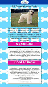 Do Wheaten Terrier Puppies Shed by 1959 Best Soft Coated Wheaton Terriers Images On Pinterest