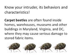 Do Carpet Beetle Bite by Fly Control How To Get Rid Of Carpet Beetles Youtube