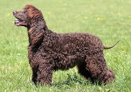 35 dog breeds that don t shed small medium large breeds