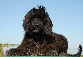 5 hypoallergenic dog breeds petmd