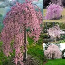 20pc Pink Fountain Weeping Cherry Tree Seeds Garden Dwarf Suitable For Yard
