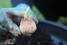 how to care for bulbs perennials if you can t plant right away