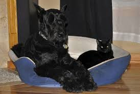 Do Giant Schnauzers Shed by Five And A Half Large Dog Breeds That Dont Shed Much Pethelpful